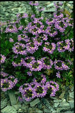 APII jpeg image of Scaevola 'Purple Fanfare'  © contact APII