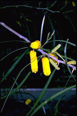 APII jpeg image of Acacia lasiocalyx  © contact APII