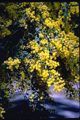 APII jpeg image of Acacia pravissima  © contact APII