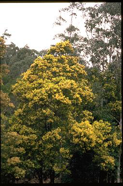 APII jpeg image of Acacia prominens  © contact APII