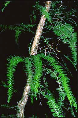 APII jpeg image of Arthropteris palisottii  © contact APII