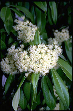 APII jpeg image of Backhousia citriodora  © contact APII