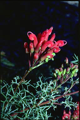 APII jpeg image of Grevillea wilsonii  © contact APII