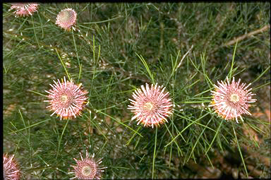 APII jpeg image of Isopogon divergens  © contact APII