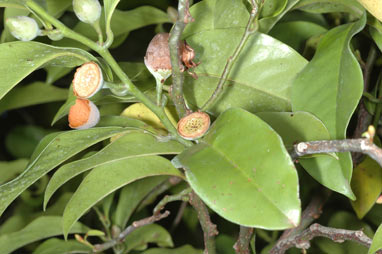 APII jpeg image of Eupomatia laurina  © contact APII
