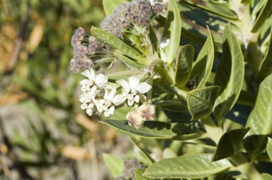 APII jpeg image of Asclepias rotundifolia  © contact APII