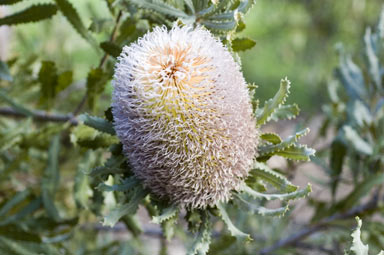 APII jpeg image of Banksia baueri  © contact APII