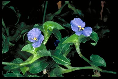 APII jpeg image of Commelina cyanea  © contact APII