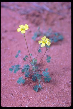 APII jpeg image of Oxalis corniculata  © contact APII