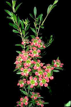 APII jpeg image of Leptospermum 'Aphrodite'  © contact APII