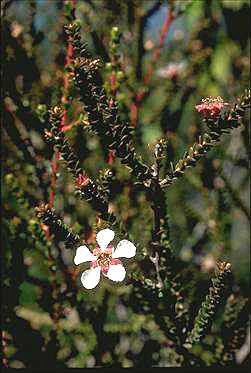 APII jpeg image of Leptospermum epacridoideum  © contact APII