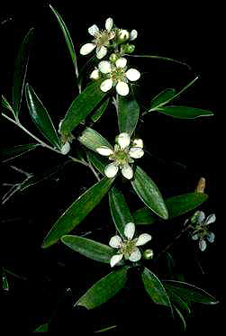 APII jpeg image of Leptospermum luehmannii  © contact APII