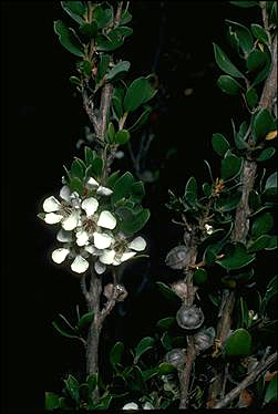 APII jpeg image of Leptospermum micromyrtus  © contact APII