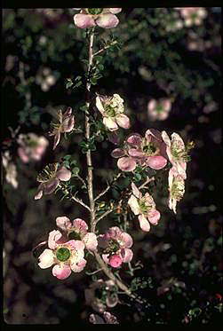 APII jpeg image of Leptospermum rotundifolium  © contact APII