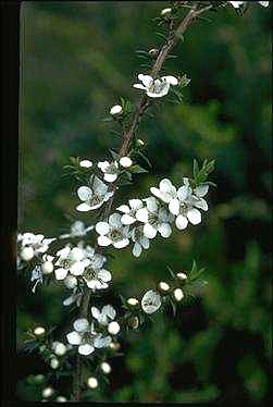 APII jpeg image of Leptospermum scoparium  © contact APII