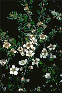 APII jpeg image of Leptospermum thompsonii  © contact APII