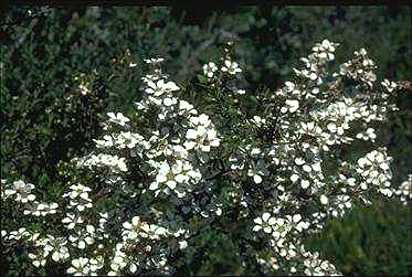 APII jpeg image of Leptospermum trinervium  © contact APII