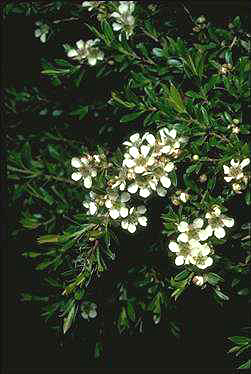 APII jpeg image of Leptospermum wooroonooran  © contact APII