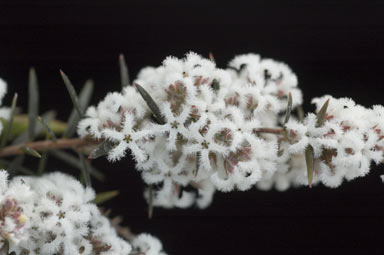 APII jpeg image of Leucopogon melaleucoides  © contact APII