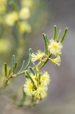 APII jpeg image of Acacia flexifolia  © contact APII