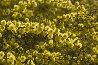 APII jpeg image of Acacia aspera  © contact APII