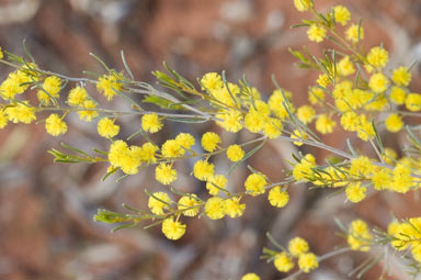 APII jpeg image of Acacia wilhelmiana  © contact APII