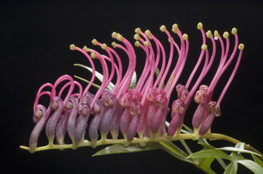 APII jpeg image of Grevillea 'Bronze Rambler'  © contact APII