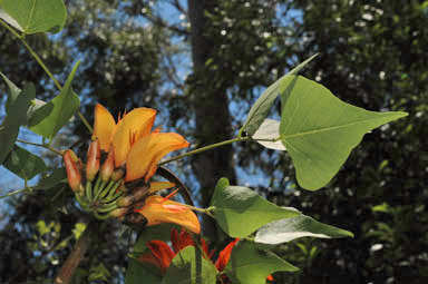 APII jpeg image of Erythrina vespertilia  © contact APII