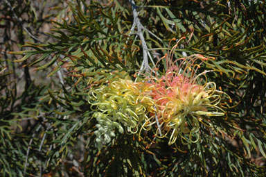 APII jpeg image of Grevillea 'Peaches and Cream'  © contact APII