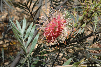 APII jpeg image of Grevillea 'Landcare'  © contact APII