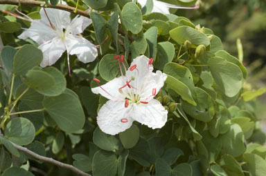 APII jpeg image of Bauhinia hookeri  © contact APII