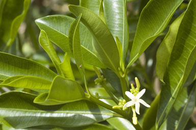 APII jpeg image of Ochrosia elliptica  © contact APII