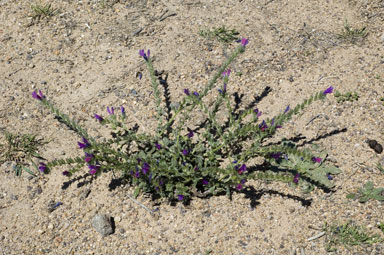 APII jpeg image of Echium plantagineum  © contact APII