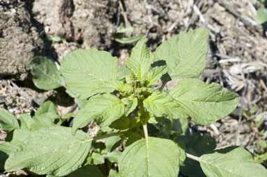 APII jpeg image of Amaranthus hybridus  © contact APII