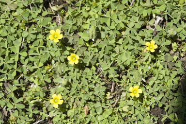 APII jpeg image of Oxalis thompsoniae  © contact APII
