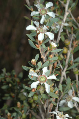 APII jpeg image of Leptospermum coriaceum  © contact APII