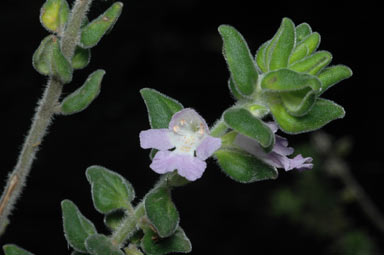 APII jpeg image of Prostanthera densa  © contact APII