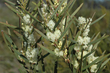 APII jpeg image of Acacia suaveolens  © contact APII
