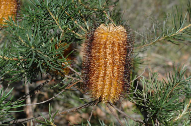APII jpeg image of Banksia spinulosa  © contact APII
