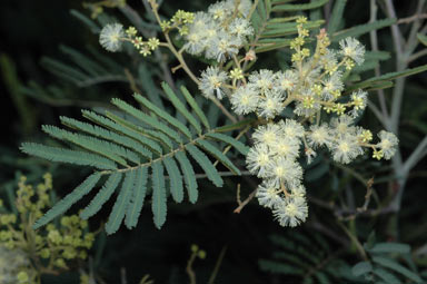 APII jpeg image of Acacia parvipinnula  © contact APII