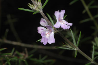 APII jpeg image of Prostanthera eremicola  © contact APII