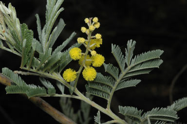 APII jpeg image of Acacia mollifolia  © contact APII