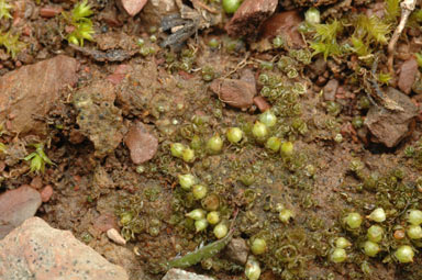 APII jpeg image of Goniomitrium acuminatum  © contact APII