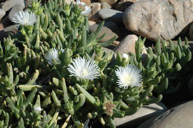 APII jpeg image of Carpobrotus rossii 'white'  © contact APII
