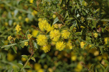 APII jpeg image of Acacia ambligona 'prostrate'  © contact APII