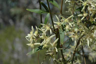 Clematis microphylla