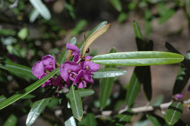 APII jpeg image of Hovea lorata  © contact APII