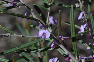 APII jpeg image of Hovea similis  © contact APII