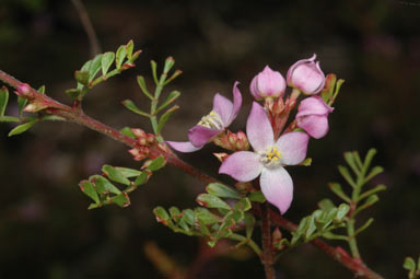 APII jpeg image of Boronia microphylla  © contact APII