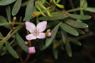 APII jpeg image of Boronia latipinna  © contact APII
